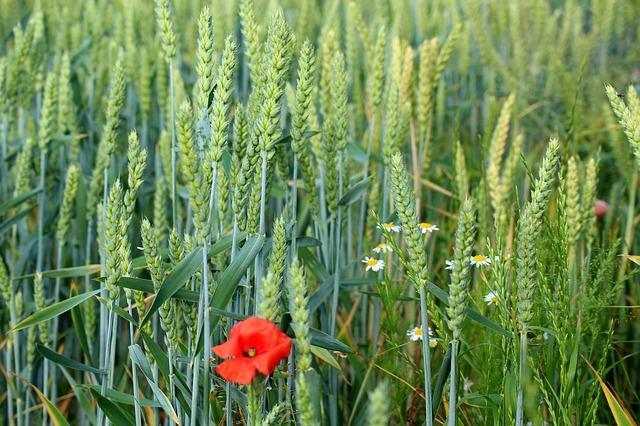 pšenice a mák.jpg