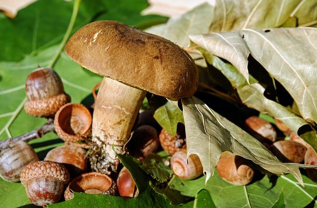 žaludy u houby