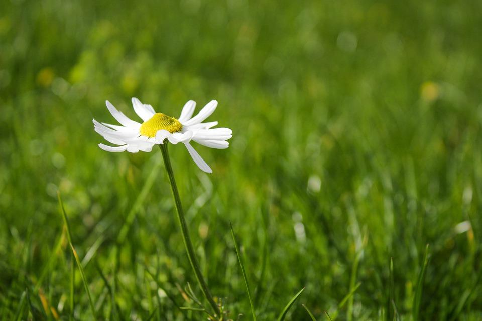 sedmikráska na trávníku